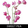SWEET PEA.png
