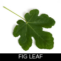 FIG LEAF.png