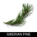 SIBERIAN PINE.png