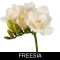 FREESIA.png