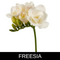 FREESIA.png