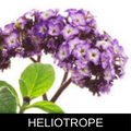 HELIOTROPE.png