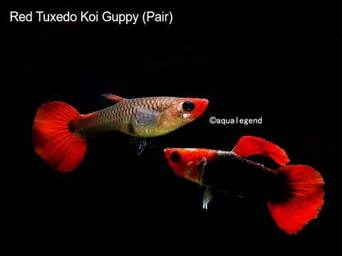 Red Tuxedo KOi Guppy.jpg