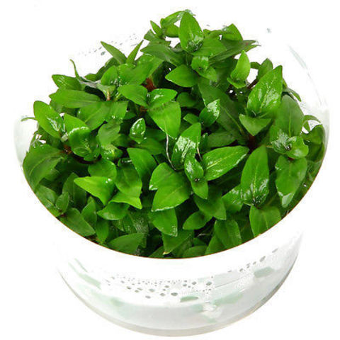 Staurogyne-repens-Tropica-1-2-Grow-In-Vitro-Aquarium-Plant.jpg