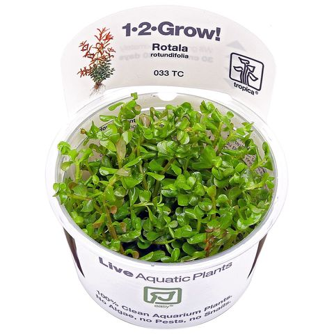 rotala-rotundifolia-1-2-grow.jpg