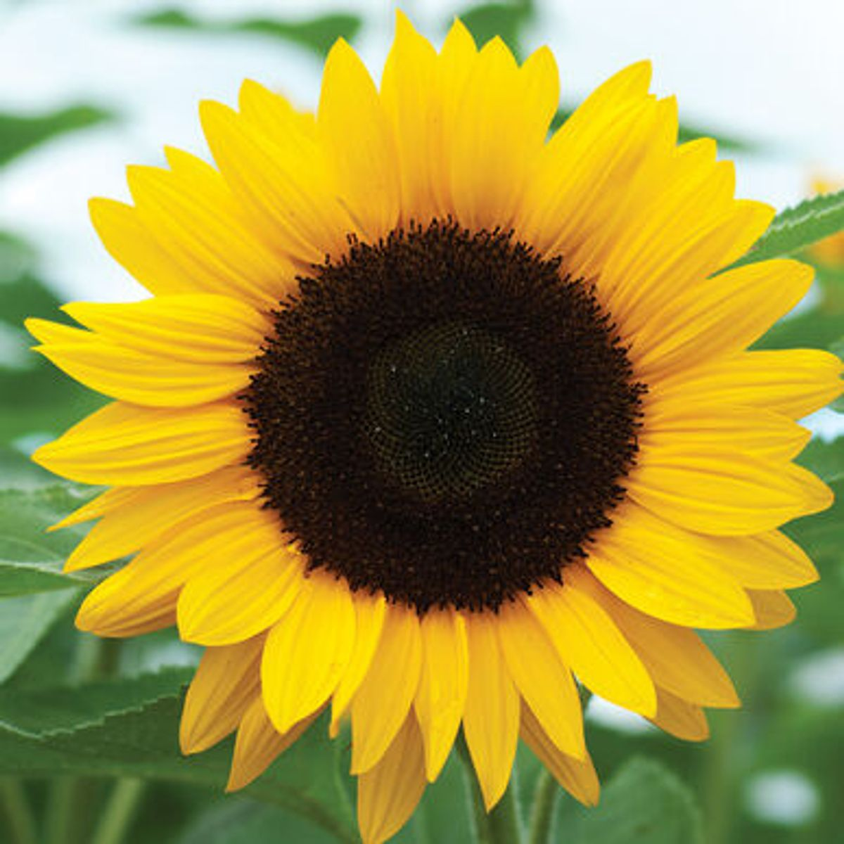 What is Sunflower Lecithin?