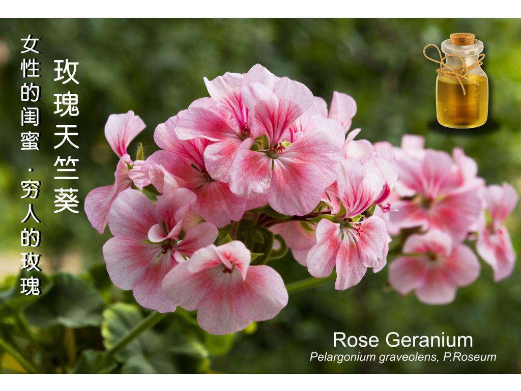 女性的闺蜜 – 窮人的玫瑰 – 玫瑰天竺葵 (Rose Geranium) , 中調