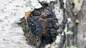 波皮斯國際樂活養生網 - 白樺茸