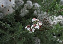 220px-Eriocephalus_africanus_IMG_5722s.jpg