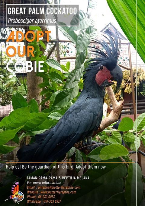 Palm Cockatoo i.jpg