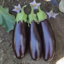 400 seeds purple eggplant.jpg