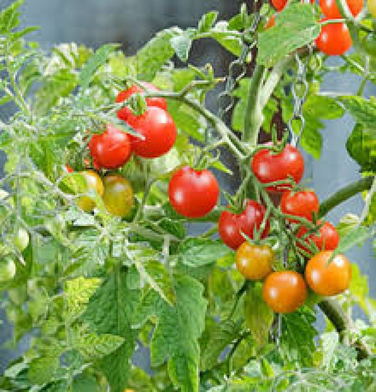 Picture of Live Tomato Red Cherry Large Plant Fit 1GAL Pot