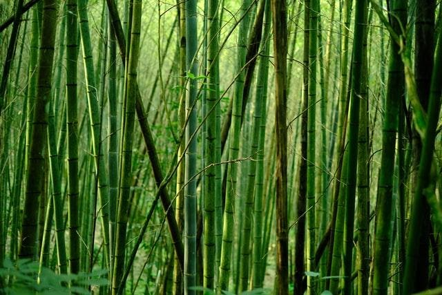 A picture containing plant, green, bamboo  Description automatically generated