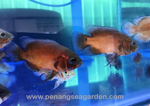 Thai Red Oscar 泰国黑红猪 6-7cm RM12 (7)w.jpg