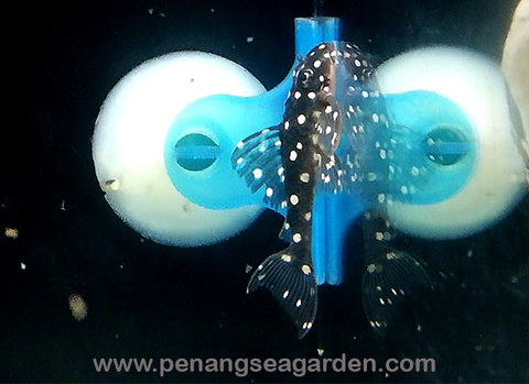 Pleco L201 RM78-02w.jpg