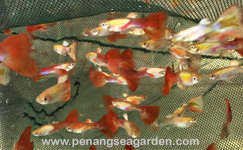 Red Golden Head Guppy 红尾金头孔雀鱼RM2.50-01w.jpg