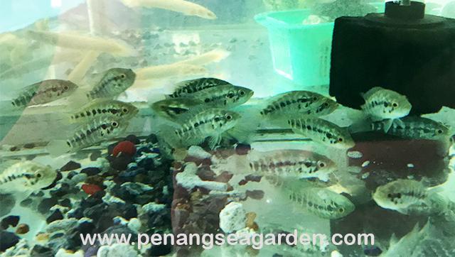 Jaguar Cichlid (Managua) 淡水石斑 5-6cm (1)w.jpg