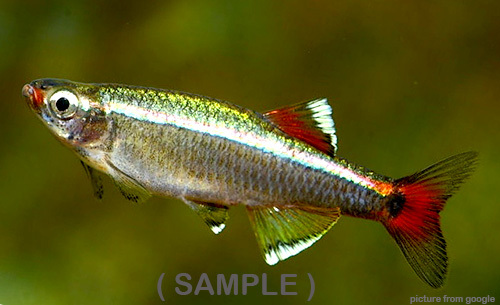 White Cloud Mountain Minnow 白云山 Web1.(Sample).jpg