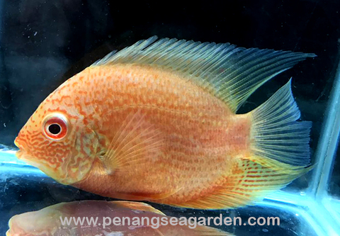 Full Red Heros Severum 全红英雄菠萝 RM25-01w.jpg