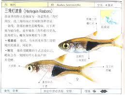 Harlequin Rasbora 三角鱼 Web2.jpg