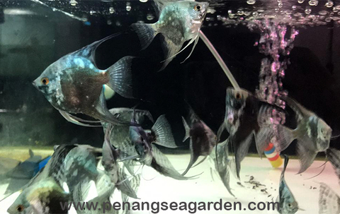 Blue Ghost Angelfish 蓝魔鬼神仙 19.09.14 - 14w.jpg