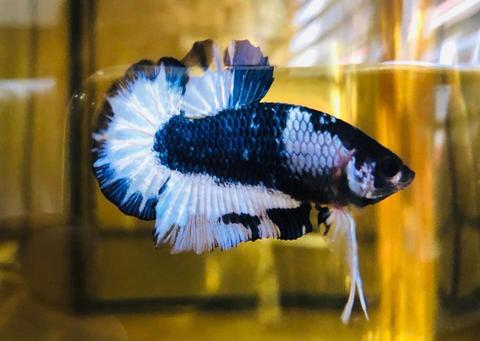 Fancy Copper Plakat Betta (FCCP) 粉丝铜将军斗鱼 (Male 公) 19.08.20 - 01.jpg