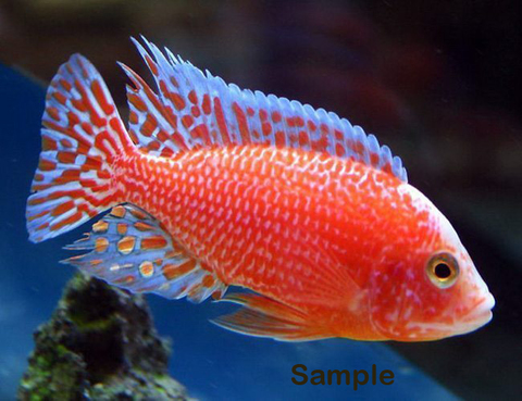 Strawberry-Peacock-Firefish-Cichlid.jpg