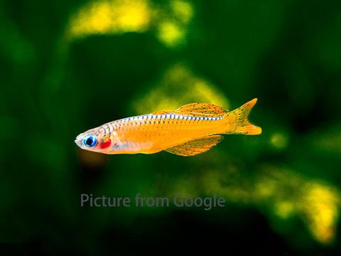 Red-Neon-Blue-Eye-Rainbowfish-16_1024x1024.jpg