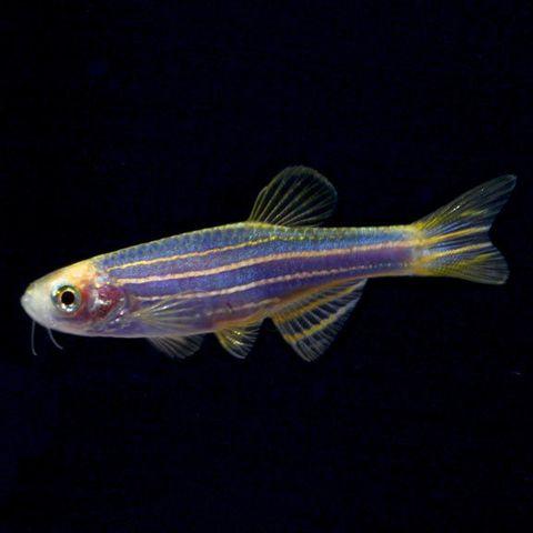 lg-glofish-cosmic-blue-danios.jpg