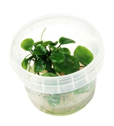 anubias-sp.-nangi-tissue-culture-hortilab-2087-p.jpg