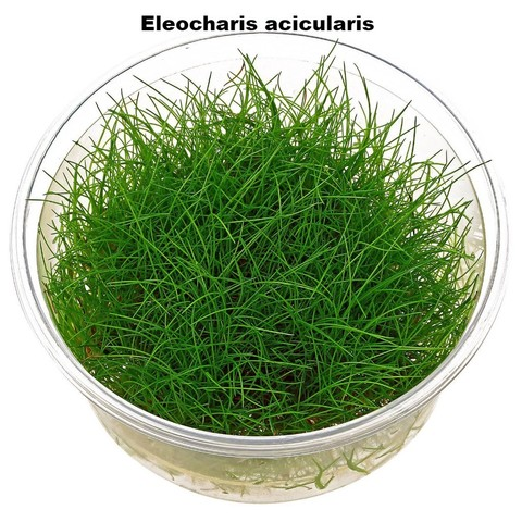 eleocharis-acicularis-in-vitro-xl.jpg