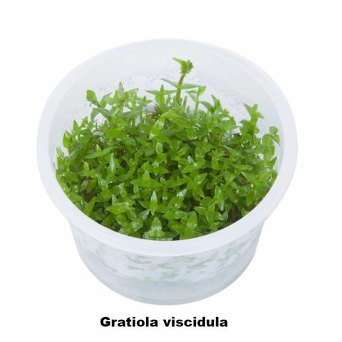 viscidula.jpg