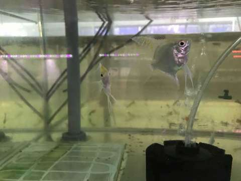 Angelfish Golden - 2.jpg