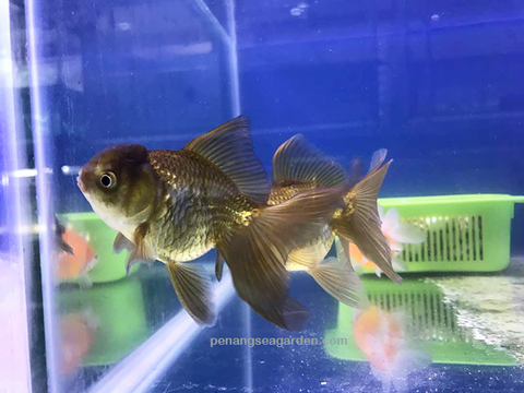 Goldfish Black Moor 5 - 01A.jpg