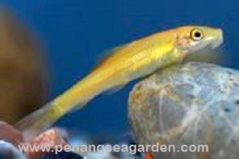 Algae Eater Golden Albino 食藻鱼 RM3 - 01A.jpg