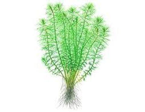 Myriophyllum guyana - 2.jpg