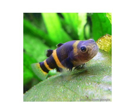 Bumble Bee Goby 小蜜蜂 RM2.50 - Web.w.jpg