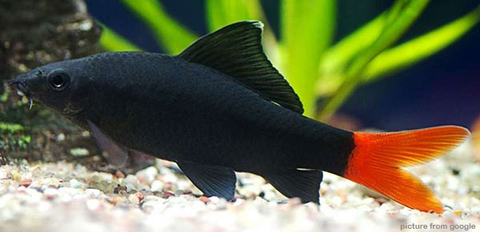 Red Tail Black Shark 红尾鲨 RM2.50 - web..jpg