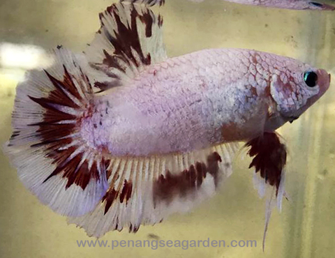 Betta - Giant RM15pc - 11w.jpg