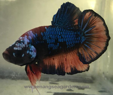 Betta - Giant RM15pc - 12w.jpg
