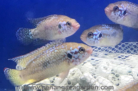 Blue Jewel Cichlid 蓝宝石 RM7.50 - 05w.jpg
