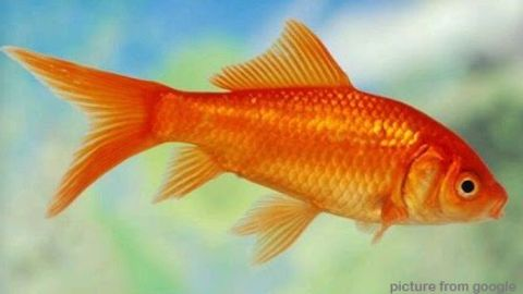 Comet Gold Fish草金鱼 RM3.50 - web..jpg