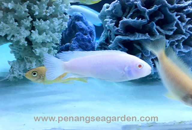 Snow White Cichlid 雪鯛 RM4.50-1w.jpg