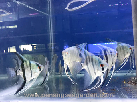 Blue Angelfish 蓝神仙 L RM8-05w.jpg