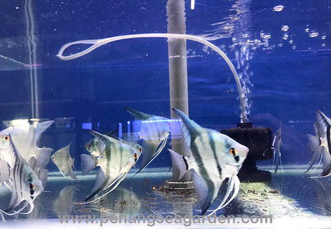 Blue Angelfish 蓝神仙 L RM8-03w.jpg