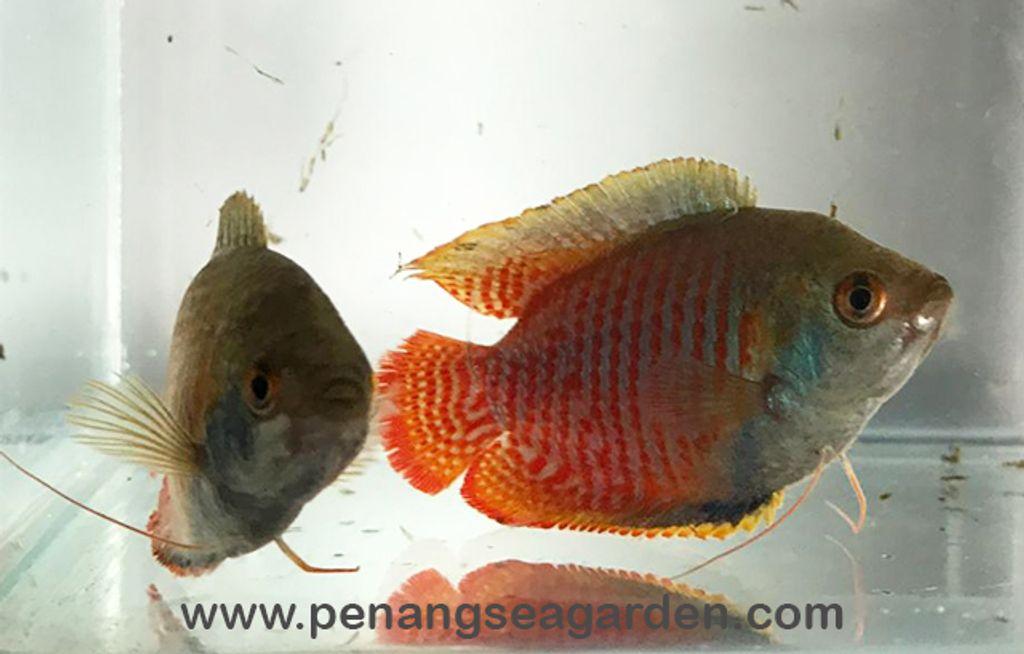 Dwarf Banded Gourami L RM2-03w.jpg