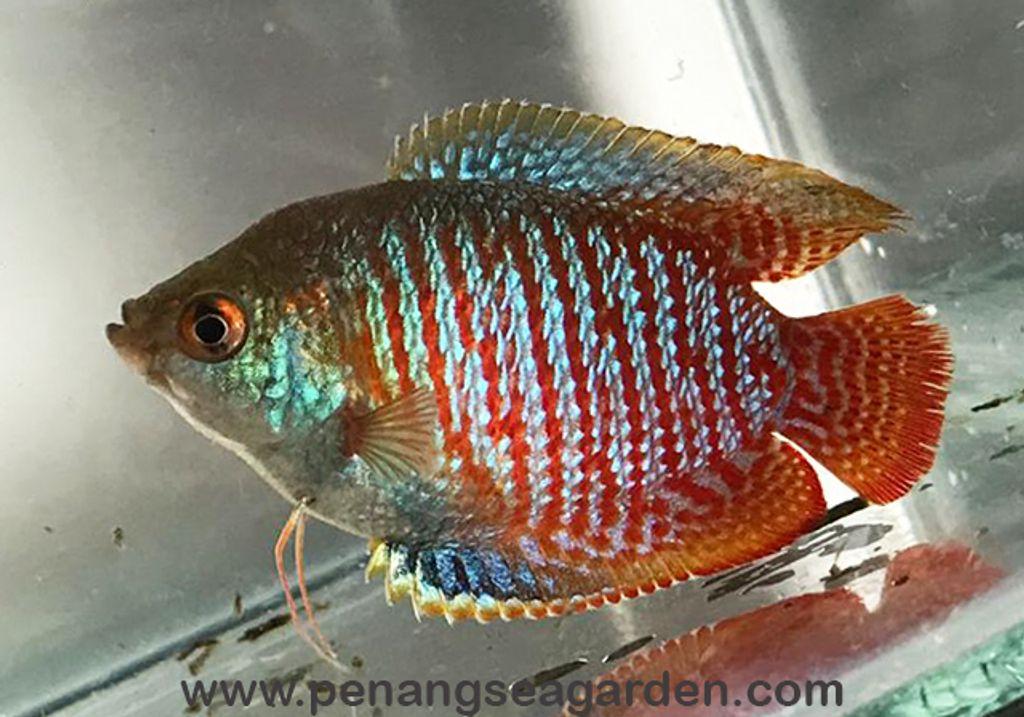 Dwarf Banded Gourami L RM2-11w.jpg