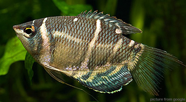 Chocolate Gourami 巧克力飞船 1.5inc RM9-Web2..jpg