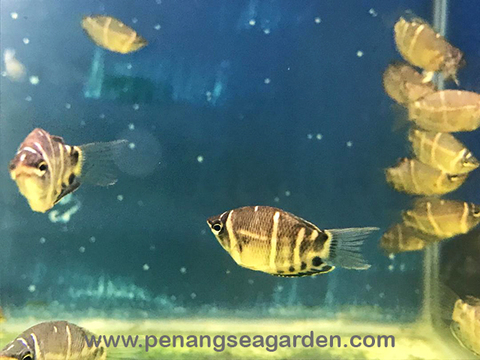 Chocolate Gourami 巧克力飞船 1.5inc RM9-07w.jpg