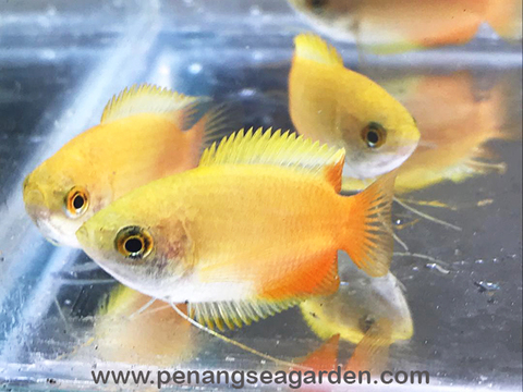 Golden Honey Gourami 金咖啡莉莉-05w.jpg